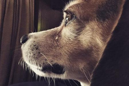 Kunnen honden huilen?