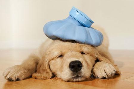 Kunnen honden verkouden zijn?