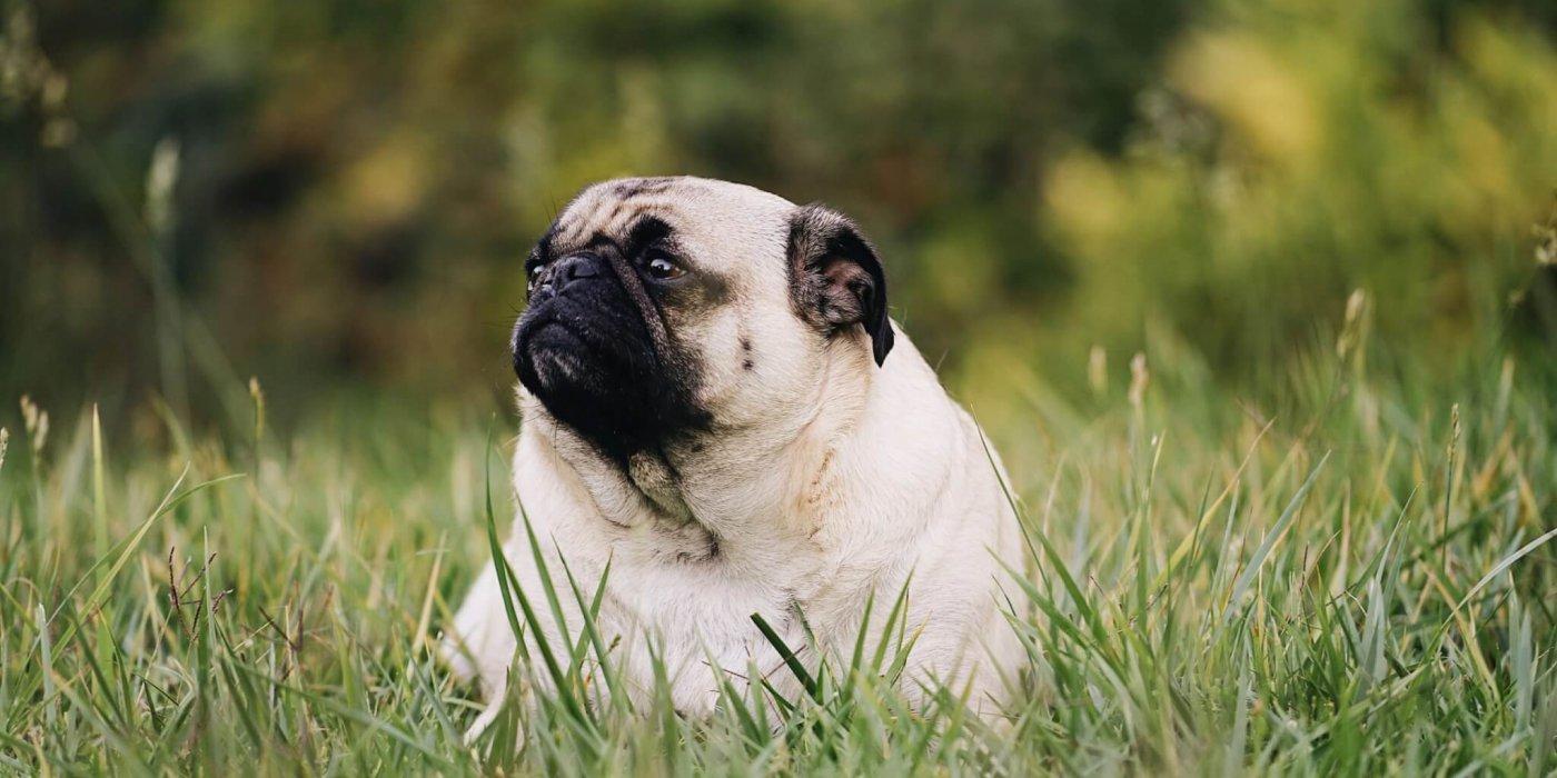 Hond is te dik